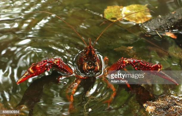 Louisiana crawfish or Procambarus clarkii crawls in a pond in the Tiergarten park on August 24 2017 in Berlin Germany Popular features in local...