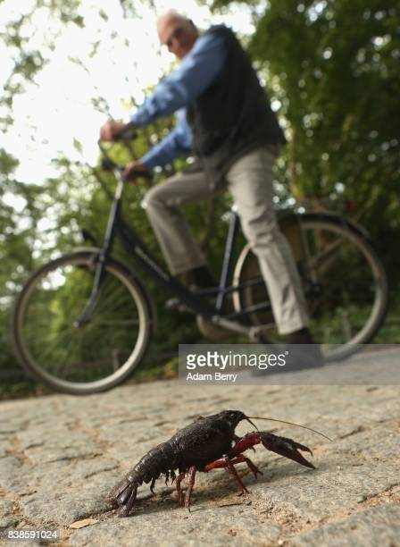 Louisiana crawfish or Procambarus clarkii walks across a path in the Tiergarten park on August 24 2017 in Berlin Germany Popular features in local...