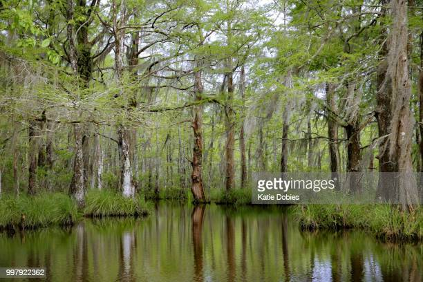 Louisiana Swamp Bayou Moss Covered Tupelo Gum, Cypress Trees, Reflection in water