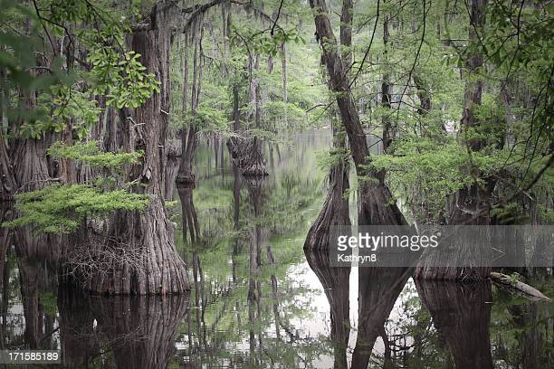 louisiana swamp - bald cypress tree stock photos and pictures