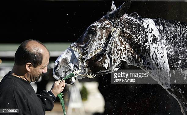 Louisville, UNITED STATES: Breeders' Cup hopeful Lava Man is given a bath while be held by groom Albert Zumaya 30 October 2006 after morning workouts...