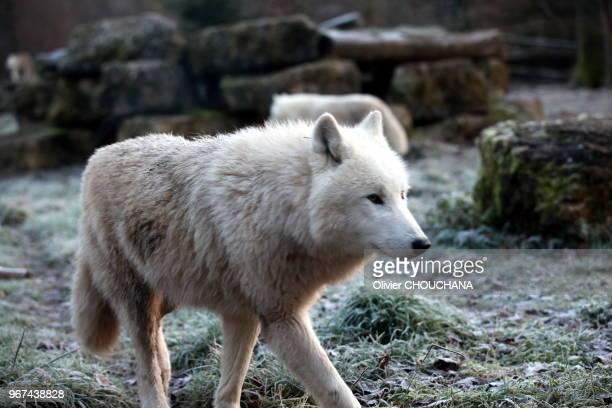 Loup arctique blanc au parc animalier de SainteCroix le 25 décembre 2016 Rhodes BasRhin France