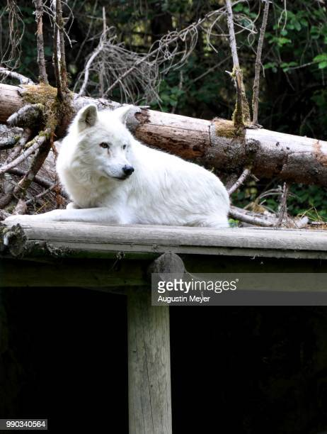 loup blanc - loup blanc stock pictures, royalty-free photos & images