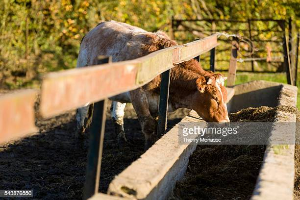 LouvainlaNeuve Belgium November 1 2014 A cow is grazing in a farm