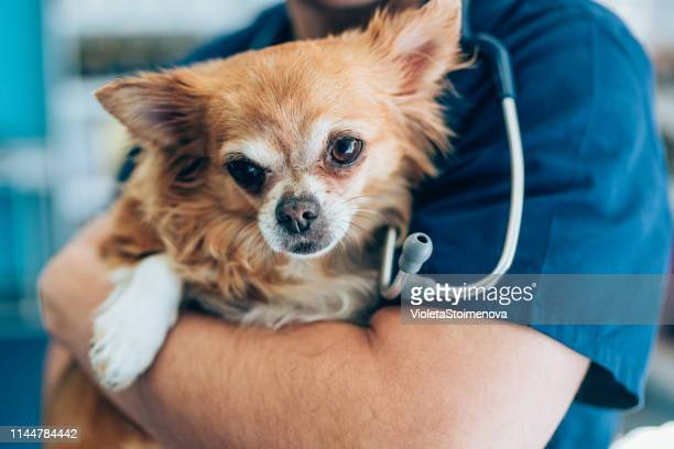 love between cute chihuahua and veterinarian doctor - stethoscope stock pictures, royalty-free photos & images