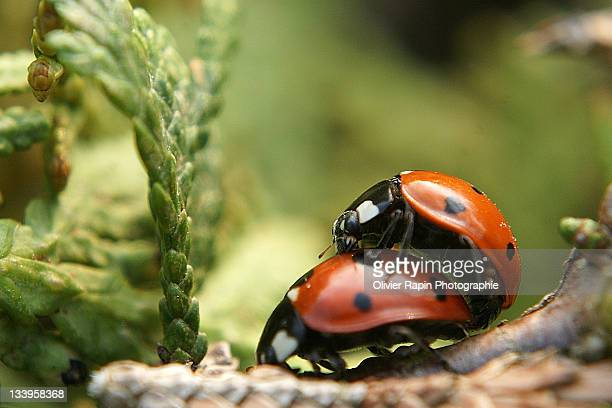 love bug - tierpaarung stock-fotos und bilder