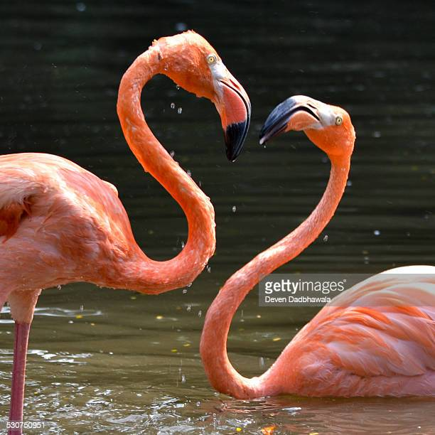 love flamingo - flamingo heart stock pictures, royalty-free photos & images