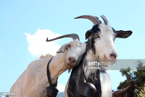 love goats - livestock stock pictures, royalty-free photos & images