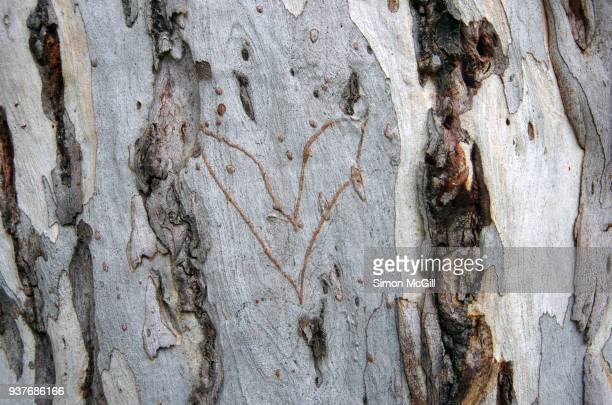 love heart carved into a eucalyptus tree trunk - heart scar stock pictures, royalty-free photos & images