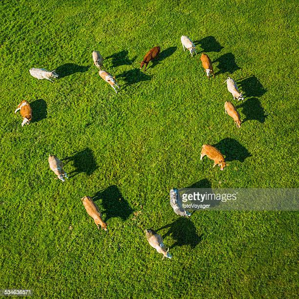 Love heart shaped herd of cows grazing in green pasture