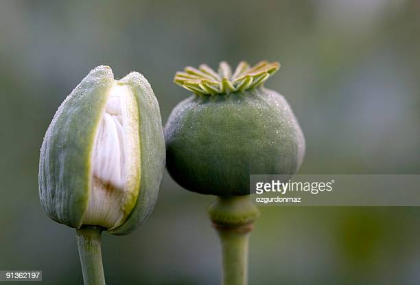 love in nature - opium stock pictures, royalty-free photos & images