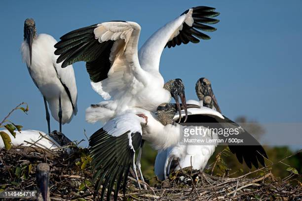 love in the rookery 1 - rookery stock pictures, royalty-free photos & images
