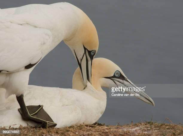 love is in the air - northern gannet stockfoto's en -beelden