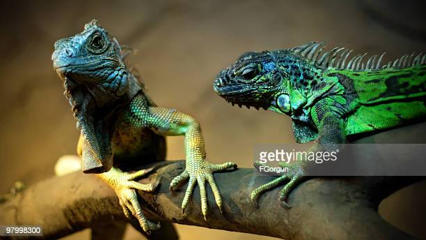 love of i̇guana - iguana family stock photos and pictures