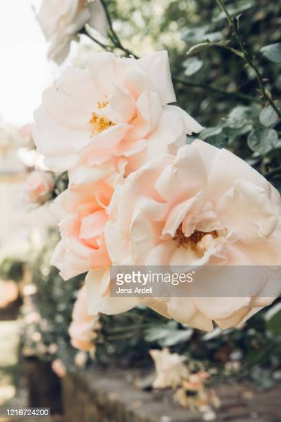 love, romance and femininity: pink roses outside, beauty in nature - jena rose stock pictures, royalty-free photos & images