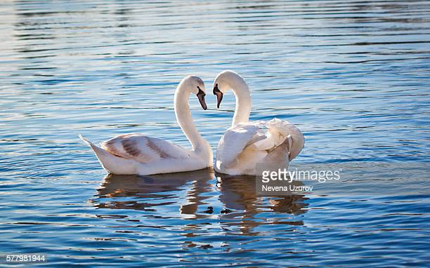 love swans - swan stock pictures, royalty-free photos & images