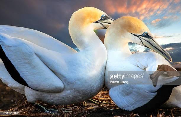love you, honey - northern gannet stockfoto's en -beelden
