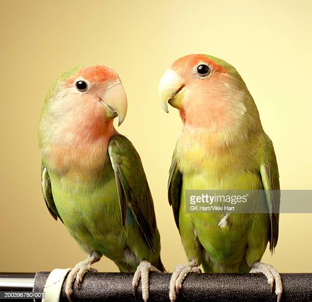 Lovebird pair on perch