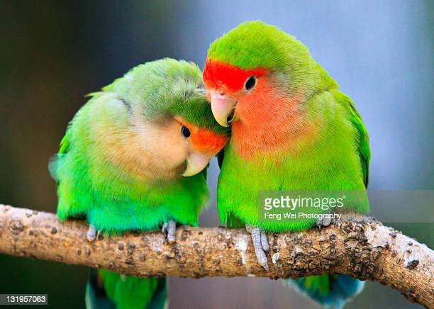 Lovebird perchec on tree branch