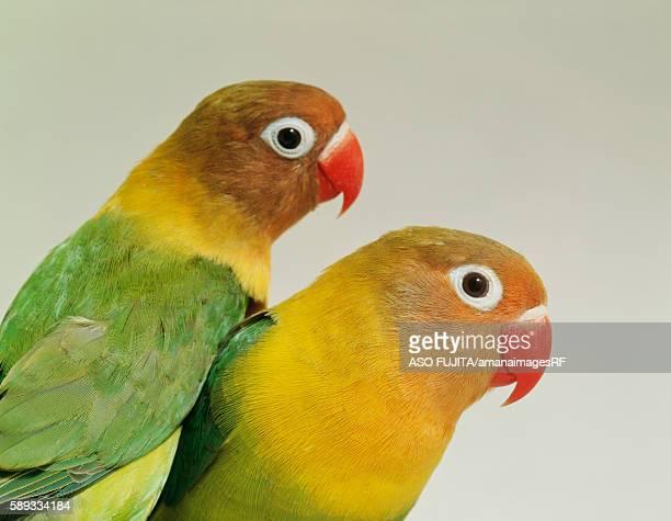 Lovebirds, Kanagawa Prefecture, Japan