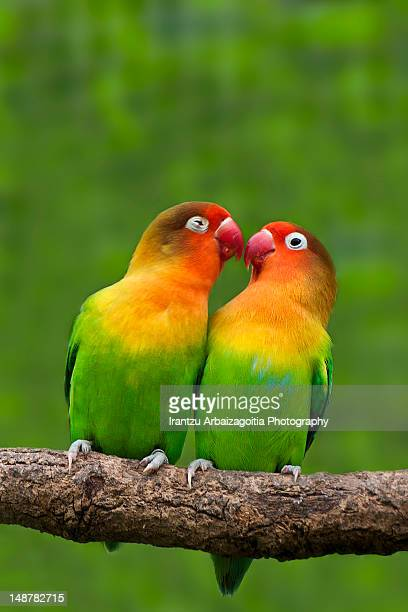 Lovebirds kissing