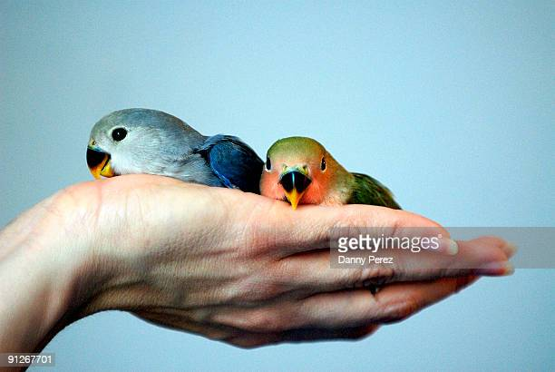 Lovebirds on a Hand