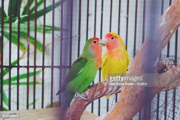 Lovebirds Perching On Wood In Cage