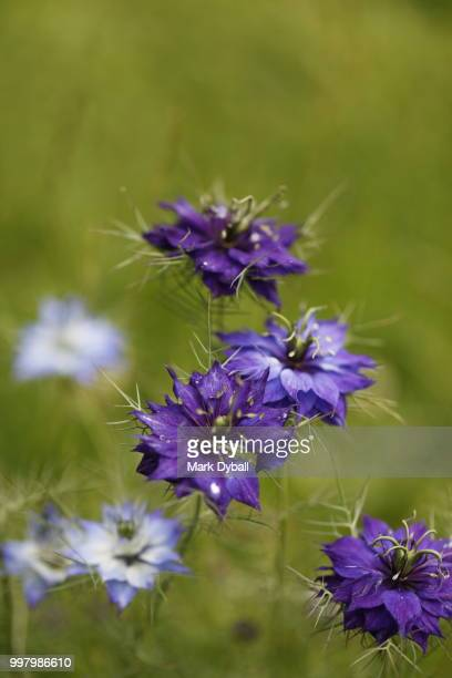 love-in-a-mist flowering plant - mark dyball stock photos and pictures