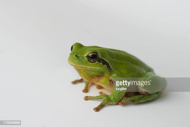 lovely arboricolous frog - tree frog stock pictures, royalty-free photos & images