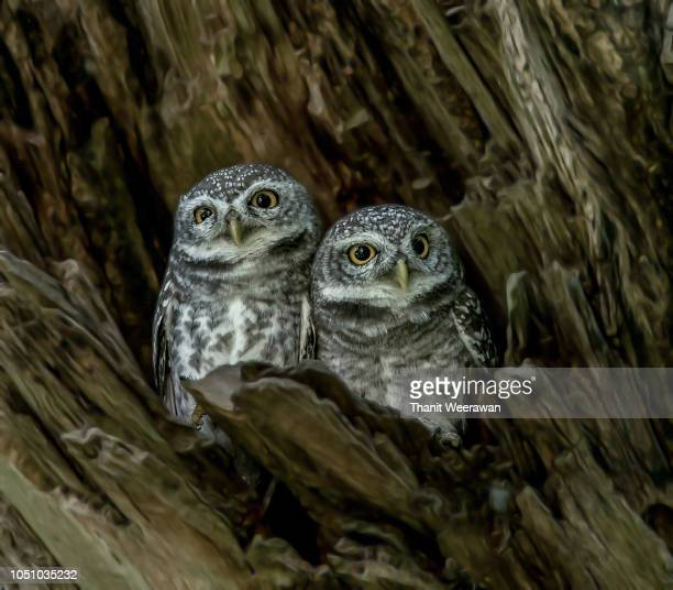 Lovely Bird, Spotted owlet in Wood hollow, Athene brama