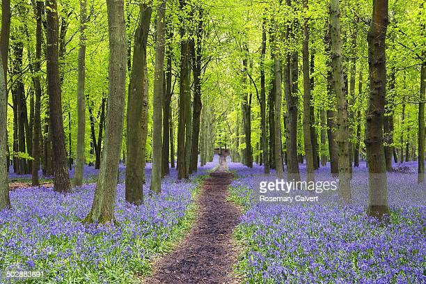 lovely bluebells in beech wood and path in spring - bluebell wood stock pictures, royalty-free photos & images