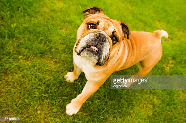 Lovely Bulldog on green background