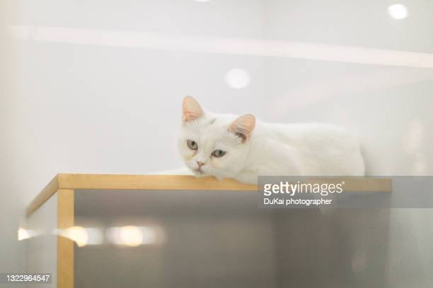lovely cat - purebred cat stock pictures, royalty-free photos & images