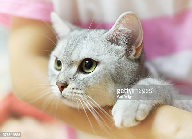 Lovely cat with gray-white hair in embrace