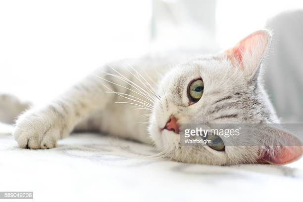 lovely cat with gray-white hair - europäischer abstammung stock-fotos und bilder