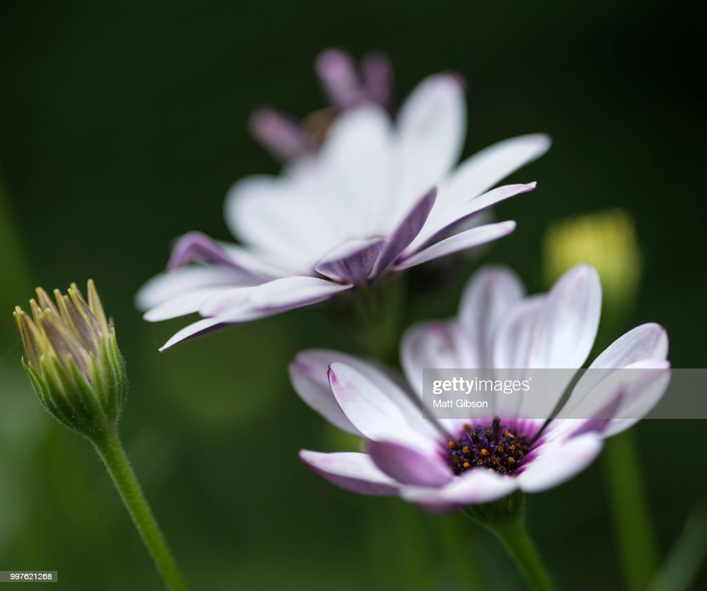 Lovely Close Up Image Of White Cape Daisy Flower Stock Photo Getty
