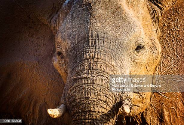 lovely close up of elephant facing camera at matusadona, zimbabwe - elephant head stock-fotos und bilder
