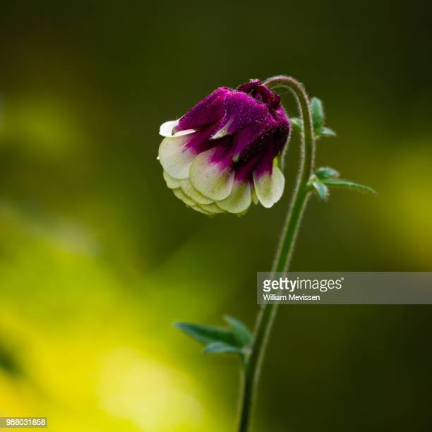 lovely flower - william mevissen stockfoto's en -beelden
