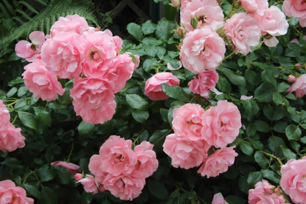 Lovely fragrant pink roses in English cottage garden.