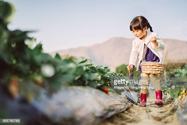 Lovely girl picking strawberries in farm