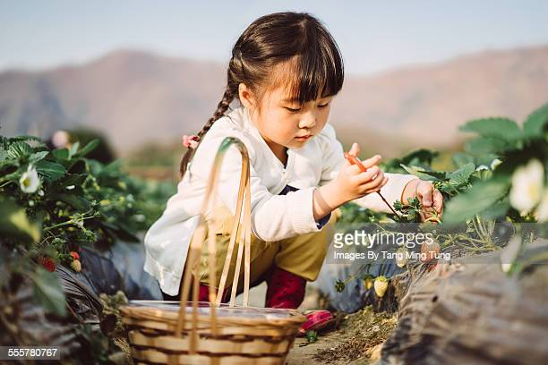 Lovely girl picking strawberries in farm