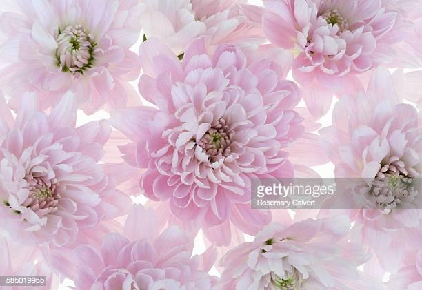 Lovely pale pink chrysanthemum flowers.