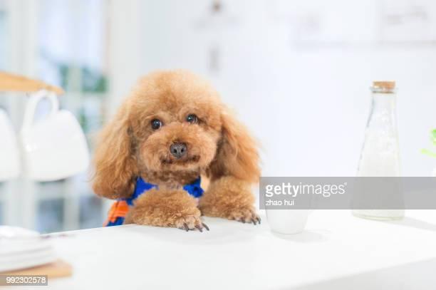 lovely poodle - caniche toy photos et images de collection