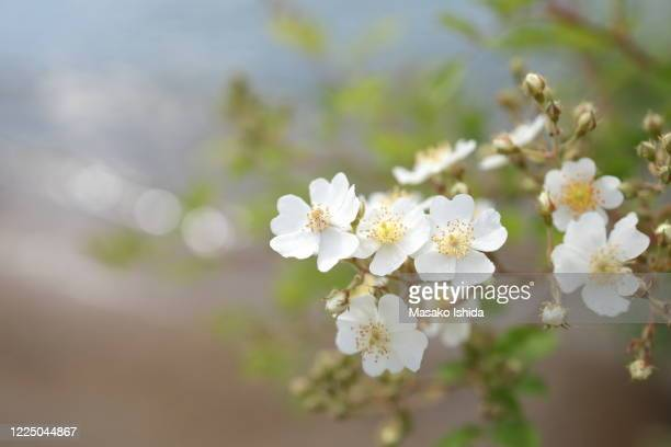 lovely pure white rose -rosa multiflora ( japanese rose,noibara) in bloom on the shore of a lake. - rivage photos et images de collection
