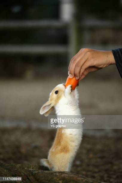 lovely rabbits. okunoshima island in hiroshima prefecture in japan is famous as rabbit island. - lagomorphs stock pictures, royalty-free photos & images