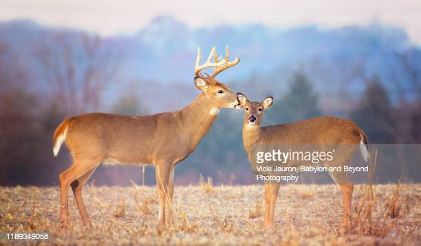 lovely scene of buck deer kissing female at exton park, pennsylvania - begattung kopulation paarung stock-fotos und bilder