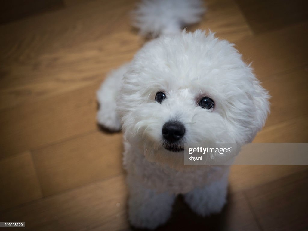 lovely small white dog stares at somthing : Stock Photo