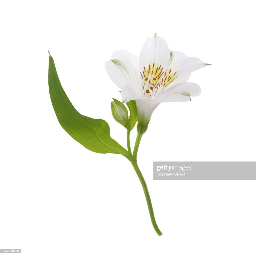 Lovely white alstroemeria flower in white square stock photo getty lovely white alstroemeria flower in white square stock photo mightylinksfo