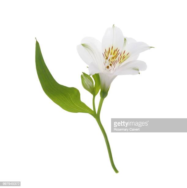 lovely white alstroemeria flower in white square. - alstroemeria stock pictures, royalty-free photos & images