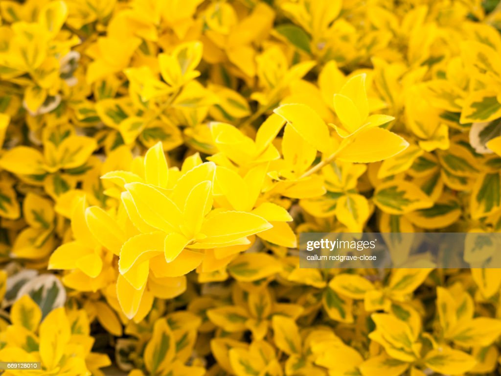 Lovely Yellow Flower Bush Shrub In The Golden Sunlight And Shine In
